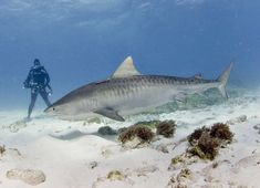 tiger shark (e)