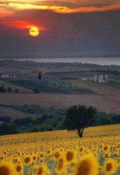 Tuscany sunset & sunflowers
