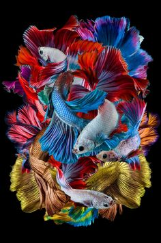 Dhiky Aditya captures the Betta fish with their beautiful colours