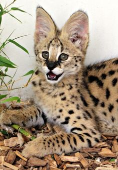 On July Colchester Zoo welcomed a baby Serval named Nala. The kitten currently lives behind the scenes, where she is under the expert care of zoo keepers. Like most kittens, Nala is playful, as [. Small Wild Cats, Big Cats, Cool Cats, Warrior Cats, Kittens Cutest, Cats And Kittens, Siamese Cats, Serval Kitten, Kitten Images