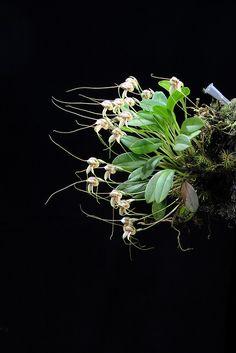 Masdevallia nidifica by Mikaels orchids, via Flickr