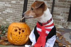 Our Jack Russell, Django, cooperated with wearing part of his pirate outfit. Pet Halloween Costumes, Pet Costumes, Daily Record, Costume Contest, Pumpkin Carving, Your Pet, Pets, Outfit