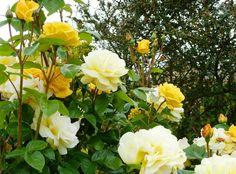 Arthur Bell roses
