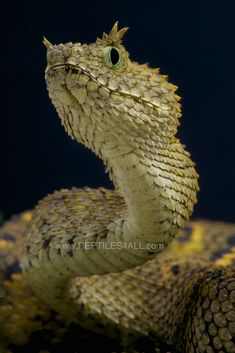 Horned Bush Viper / Atheris ceratophora | The horned bush viper is endemic to the Usambara mountain range in Tanzania.