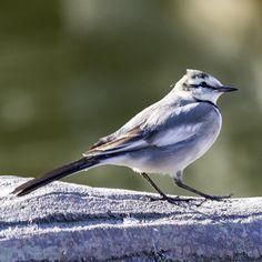 かわいいこの子はハクセキレイ  #ハクセキレイ#wagtail#whitewagtail #小鳥#野鳥#Wildbird#bird#birdwatching #動物#animal #かわいい#kawaii#cute #風景#自然#景色#picture#landscape#nature #東京#日本#tokyo#japan#love#loves_nippon #写真好きな人と繋がりたい