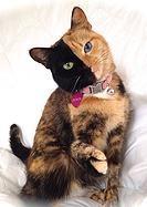 Home Venus Two Face Cat
