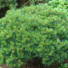 Pinus strobus 'Greg'