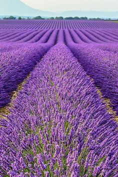Lavender Fields, Provence, France #LavenderFields