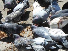 Pigeons near Central Park