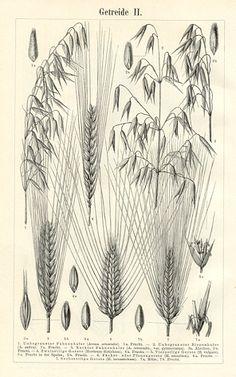 RYE,MILLET,OATS,FONIO,QUINOA,TRITICALE,Wheat Types::Meyers Botanical Prints::Botanical Prints::Antique Prints and Antique Maps from Vintage-Views.com