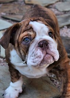 did you say dogpark. English Bulldog Puppies, British Bulldog, English Bulldogs, Bull Dog Ingles, Dog Lady, Best Dog Breeds, Mans Best Friend, Cute Dogs, Dogs And Puppies