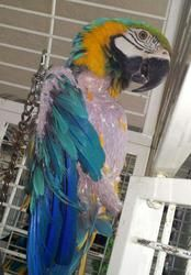 Charlotte is an adoptable Macaw Parrot in Akron, OH. Charlotte is a habitual plucker. He has a lot of  new feathers coming in and so far has stopped plucking since he has been here. He came from a ver...