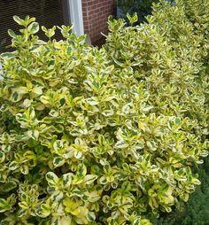 Taupata Gold Coprosma (Coprosma bauri 'Taupata Gold') For front yard shrub....1/2 day to full day sun.