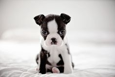 French Bulldog puppy -pretty sure this is a Boston terrier- Boston Terriers, Boston Terrier Love, Terrier Puppies, Bull Terrier, Love My Dog, Cute Baby Animals, Animals And Pets, Funny Animals, Wild Animals