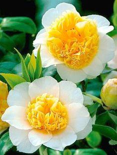 'Sunny Side Up' - Camellia Japonica