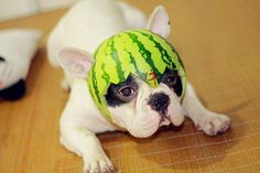 Hilarious doggie wearing a watermelon hat!