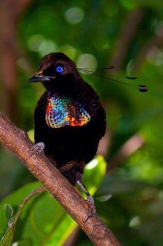 Parotia Bird Of Paradise, New Guinea Island