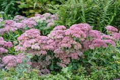 Perfect for sunny stone courses Plants, Home And Garden, Garden Plants, Flowers, Garten, Growing, Sedum, Garden