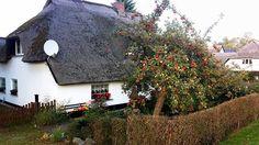 Blühende Gärten in Groß Zicker (c) Aquarell von Frank Koebsch | Apfelbaum im einem Bauerngarten von Middelhagen (c) Frank Koebsch