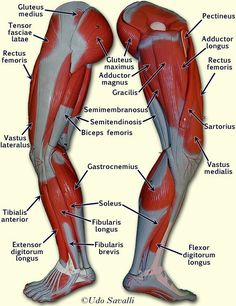 labeled muscles of lower leg - Yahoo Search Results