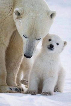 Mom Polar Bear and her cub