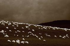 Sheepish by David Murphy Photography