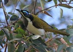 Blue-faced Honeyeater | BirdLife Australia .. they come to my balcony every day, they are so beautiful ..
