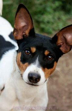 Traveler, 7 month old Rat Terrier  http://facebook.com/vendageratterriers  http://vendageratters.com/