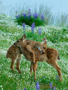 Baby Deer Hugging - Sweet Twins