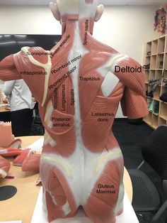 a view of the most superficial posterior muscles of the body – Health Life Human Body Anatomy, Human Anatomy And Physiology, Facial Muscles Anatomy, Psoas Release, Muscular System, Medical Anatomy, Anatomy Study, Anatomy Back, Muscle Body