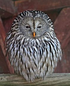 URAL OWL....a medium-sized nocturnal owl of found in Europe and northern Asia....20-24 inches long and 1-3 pounds in weight....wingspan of 43-53 inches....occupies open woodland....nests in hollow tree trunks....feeds on rodents and medium-sized birds such as jays