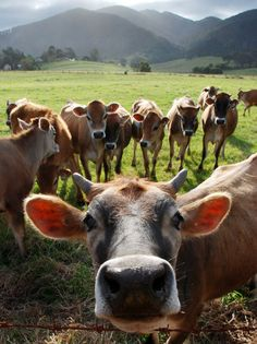 A Jersey calf faces the camera with the rest of the mob gathered behind. The Tilba Tilba valley, NSW.