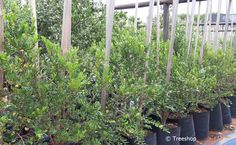Description, gardening ideas and price the Bladder-nut tree (Swartbas) which you can buy at Treeshop, Gauteng. Images and specification of Diospyros whyteana trees for sale. African Tree, Fast Growing Trees, Unique Trees, Golden Leaves, Flowering Shrubs, Evergreen Trees, Drought Tolerant, Small Gardens, Potted Plants