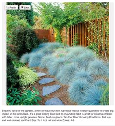 Silver-Leaf Plants for Your Garden Xeriscape. Blue Fescue- silvery foliage is also deer resistant. Blue Fescue- silvery foliage is also deer resistant. Fescue Grass Seed, Blue Fescue, Edging Plants, Foliage Plants, Xeriscaping, Xeriscape Plants, Drought Tolerant Plants, Plantar, Ornamental Grasses
