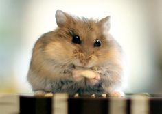 A little fella with a giant appetite. #CutePetsCA #hamsters #cuteanimals