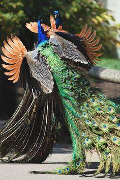 Peacocks Fighting by Whirling Phoenix, via Flickr
