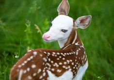 Dragon was rejected by his mother after birth, likely by natural instinct because he looks different than other fawns