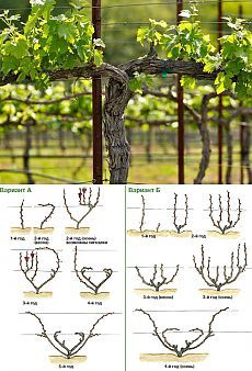 best Ideas for fruit trees backyard flower Grape Vine Trellis, Garden Trellis, Grape Vines, Espalier Fruit Trees, Trees And Shrubs, Trees To Plant, Pruning Plants, Tree Pruning, Farm Gardens