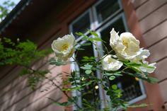 Juhannusruusut Tallipihalla Plants, Planters, Plant, Planting