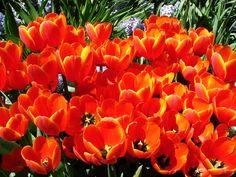 Tulips-6687.jpg (2816×2112)