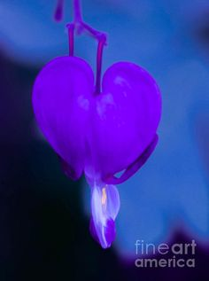 Purple Bleeding Heart Flower Photographed by Michael P. Moriarty Prints available click the photo.