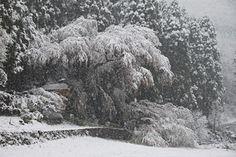 大日向観音堂の桜 4/21(満開) Snow, Outdoor, Outdoors, Outdoor Games, The Great Outdoors, Eyes, Let It Snow