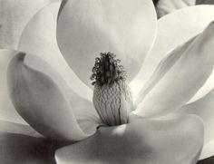 Imogen Cunningham  Magnolia Blossom  1925