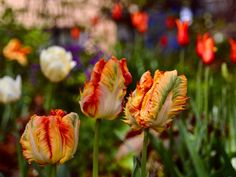 Toronto Gardens: The best way to grow tulips