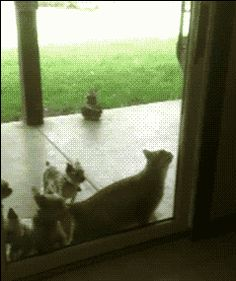 Cat opening door for the dogs
