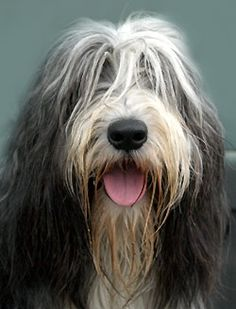 beardie Colie