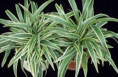 Reversed Variegated Spider Plant - Extremely Easy To Care For Houseplant - Growing In A Pot - Great Gift! Potted Plants, Garden Plants, Indoor Plants, Chlorophytum, Tropical Plants, Tropical Gardens, Spider Plants, Houseplants, Flora