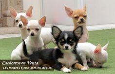 #Cachorros #Chihuahuas