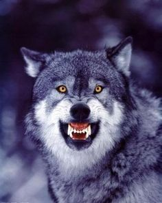Heed the Call of the Wild: Don't Cull the Wolf - There Are Better Ways to Control North America's Wolf Populations Than Removing Wildlife Protections & Permitting Hunting. Wolf Images, Wolf Photos, Wolf Pictures, Wolf Growling, Of Wolf And Man, Wolf Population, Snarling Wolf, Angry Wolf, Wildlife Protection