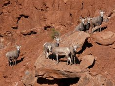 A small herd of mountain goats congregate on a cliff.